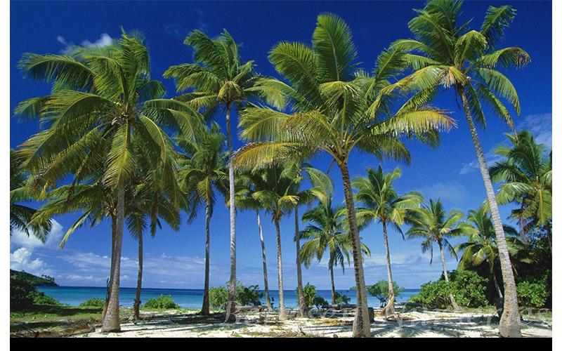 Wholesale Coconut Palm Naples