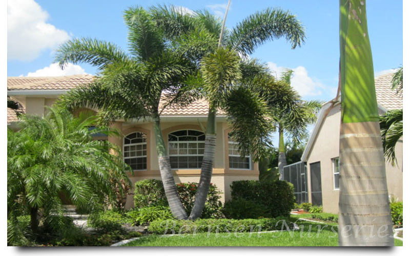 foxtail palm trees naples