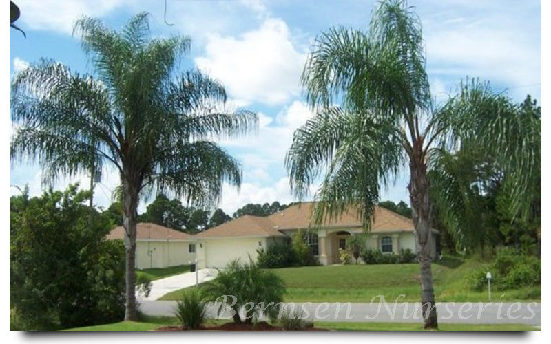 At Whole Nursery Naples We Offer A Wide Variety Of Palm Trees With Hundred S In Stock Are Sure You Ll Find The Perfect One For Your Landscaping