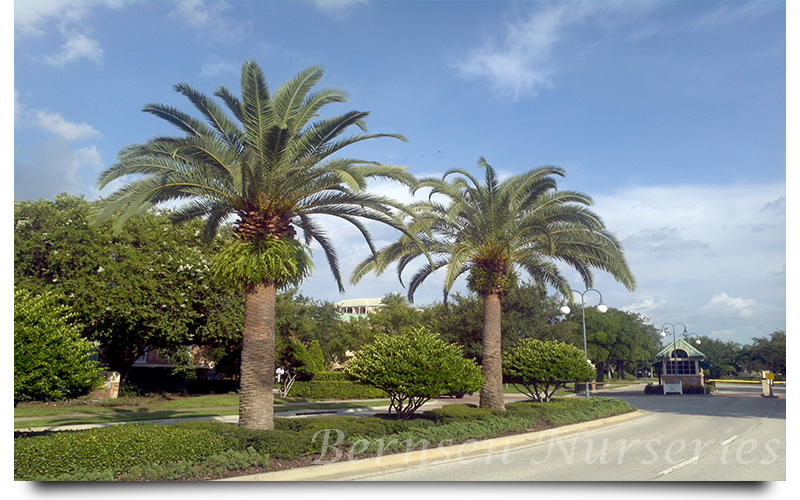 sylvester palm trees naples