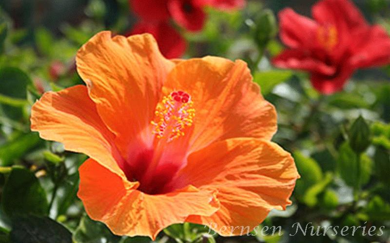 Wholesale Hibiscus Naples