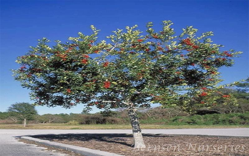 Wholesale Dahoon Holly Tree Naples