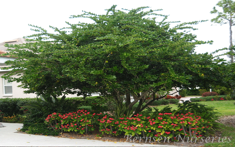 Wholesale Ligustrum Tree Naples