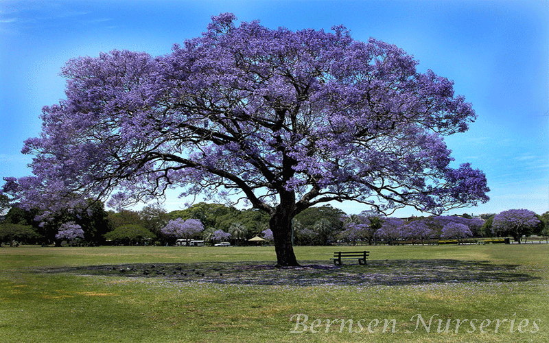 WHOLESALE JACARANDA TREE NAPLES